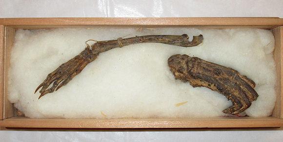 Presuntos huesos fosilizados de un kappa.