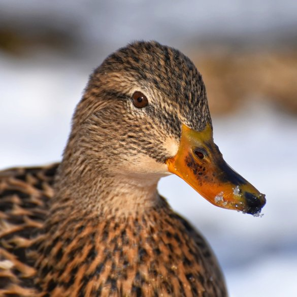 Natalie, Duck Woman Literary Drama Flash Fiction By Dick Bentley