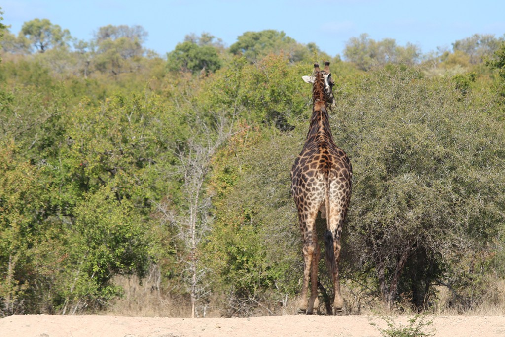 Giraffes are treetop grazers. This fellow is no different and enjoyed munching on the brush.