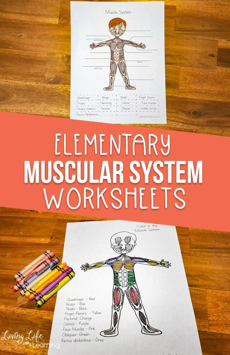 Muscular System Worksheets for Elementary Students