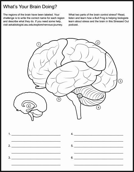 50 Nervous System Worksheet High School