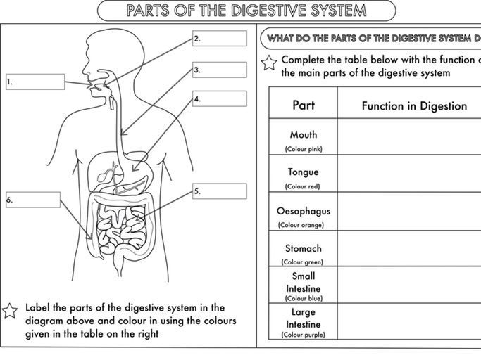 Year 4 Science Animals including humans digestion teeth and food chains worksheets