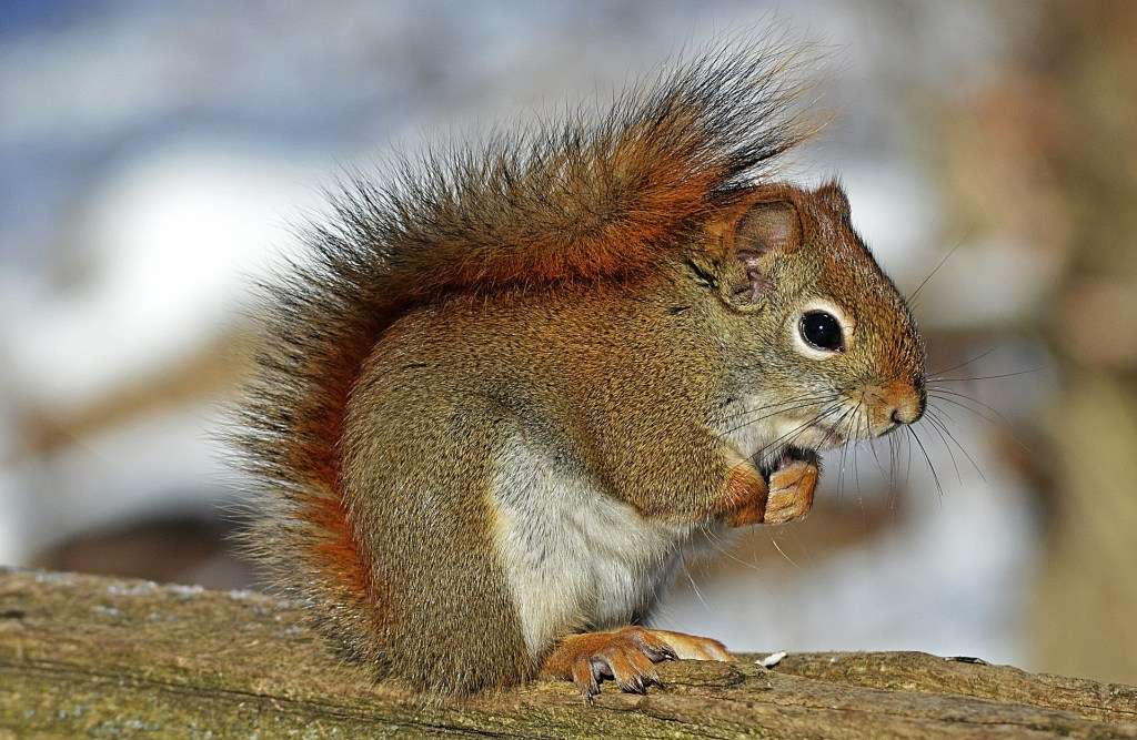inner squirrel