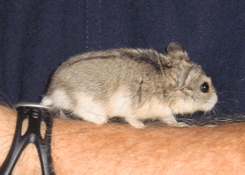 Fluffy the hamster