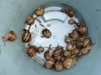 Bucket of snails