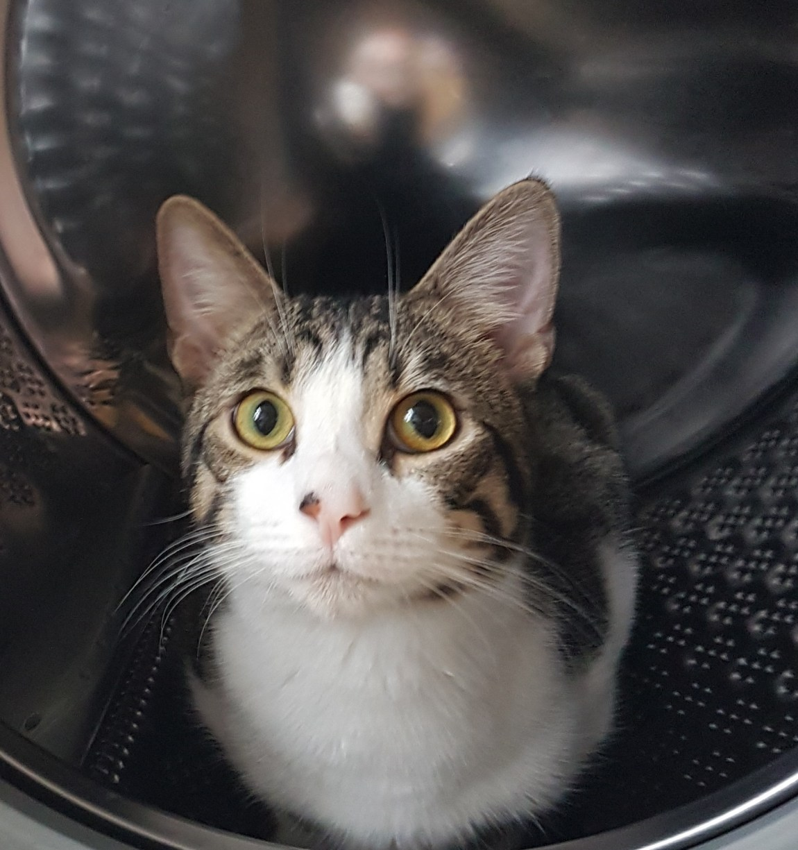 A family pet grey and white cat sat in an empty washing machine
