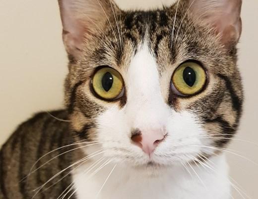 a grey tabby cat