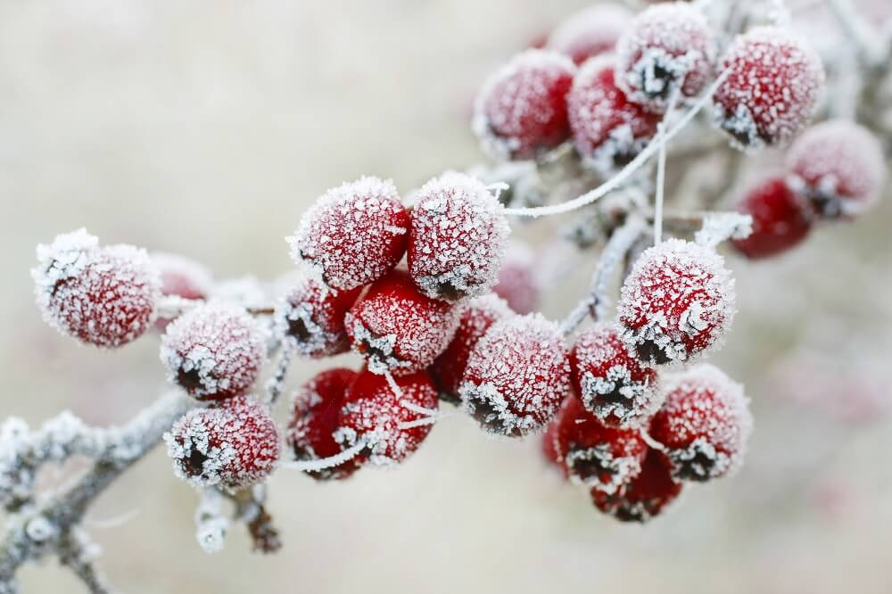 berries on a tree covered in frost