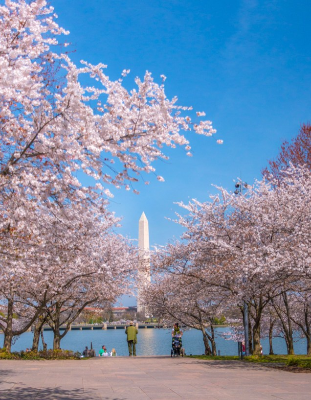 Where To See Cherry Blossoms In Washington Dc Most Photographed Spots Plus Hidden Gems My Ticklefeet