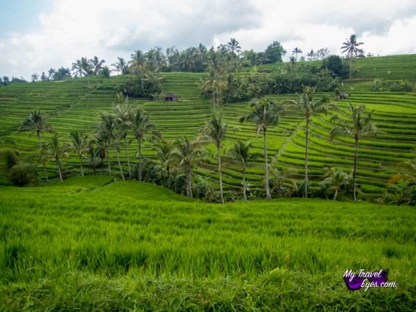 Les rizières de Jatiluwih
