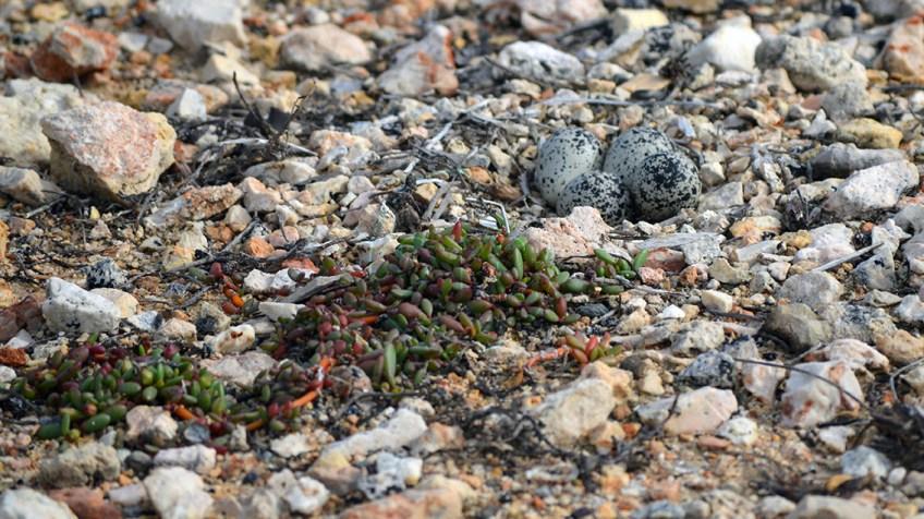 Anguilla bird eggs