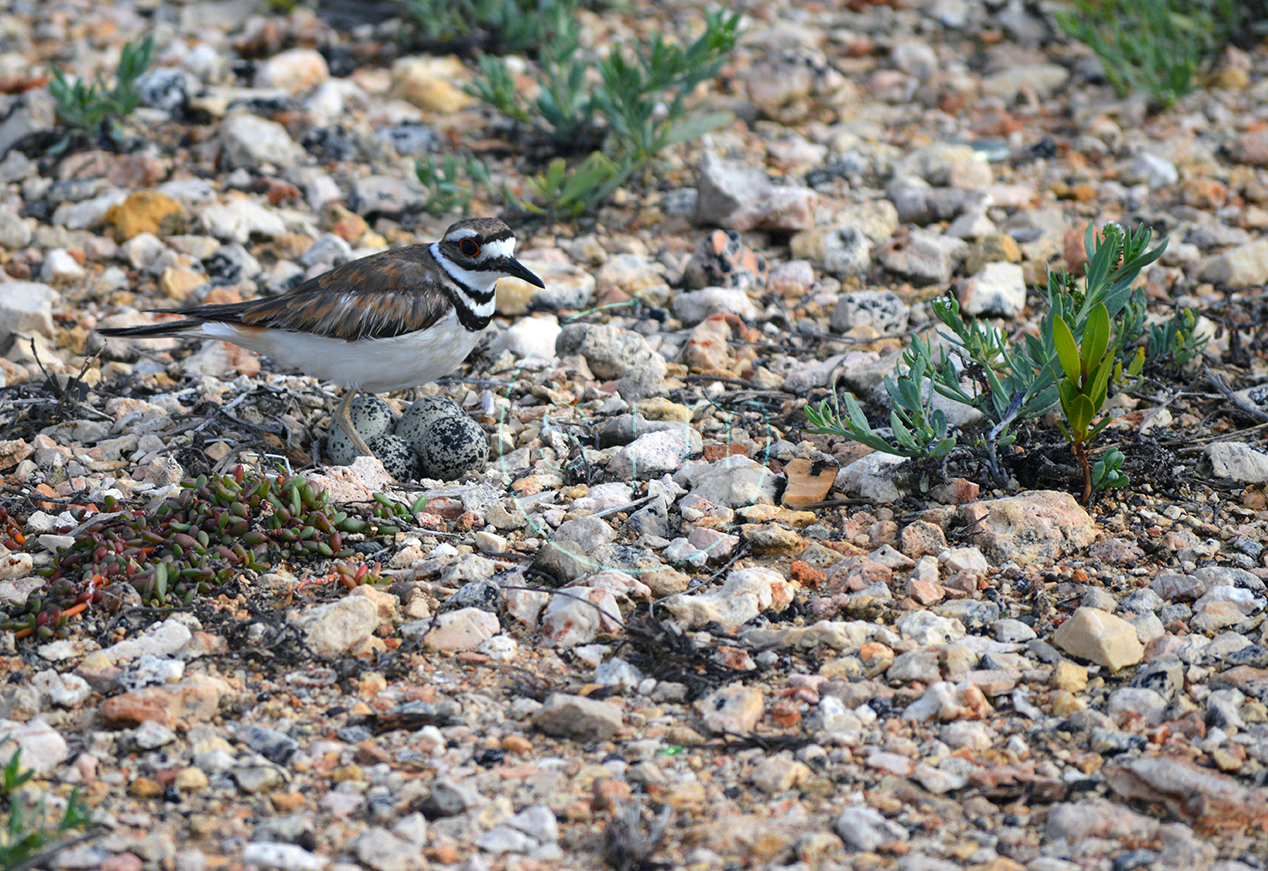 Killdeer Protecting it's Nest