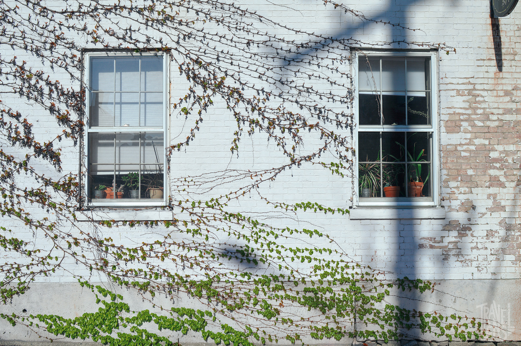 Vines on a white brick building