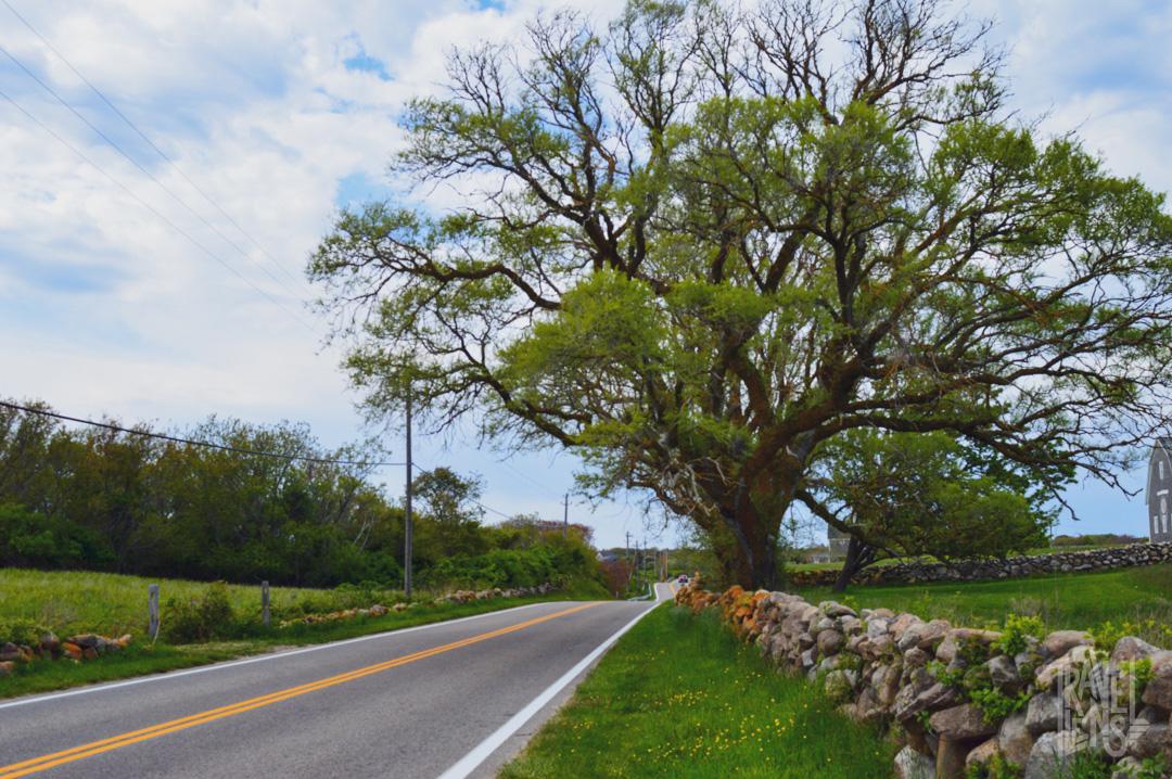 Tree on the side of Corn Neck Road, Block Island, RI