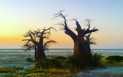Roadtrip to Botswana - Kubu Island Baobab tree