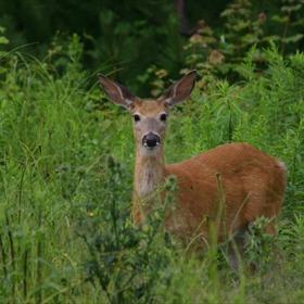Deer_3085051596682970070