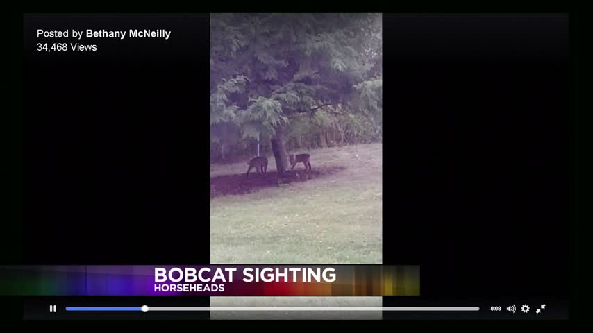 Bobcats Sightings in Our Area_57911782-159532