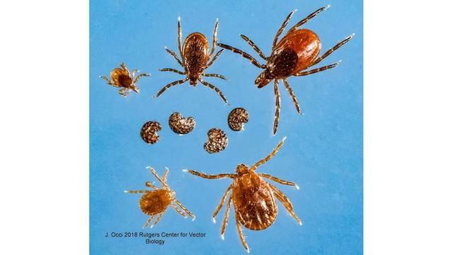 black-legged-deer-tick-poppy-seeds_1531850053627-118809282.jpg