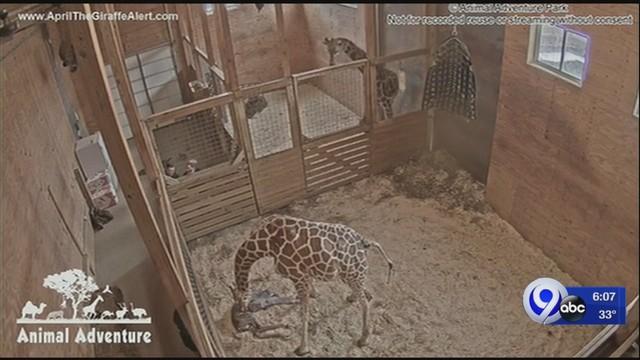 April_the_Giraffe_gives_birth_0_77749550_ver1.0_640_360_1552991511078.jpg
