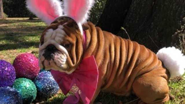 henri-bulldog-cadbury-_1553131442491_78431629_ver1.0_640_360_1553173544552_78510218_ver1.0_640_360_1553182906879.jpg