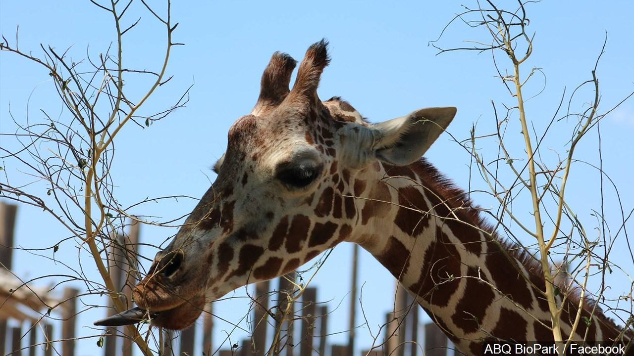 Giraffe at ABQ BioPark Zoo, Albuquerque, New Mexico, Photo Date June 21, 2016.jpg
