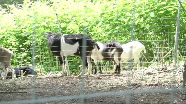 goats_9_90566547_ver1.0_640_360_1559627098808.jpg