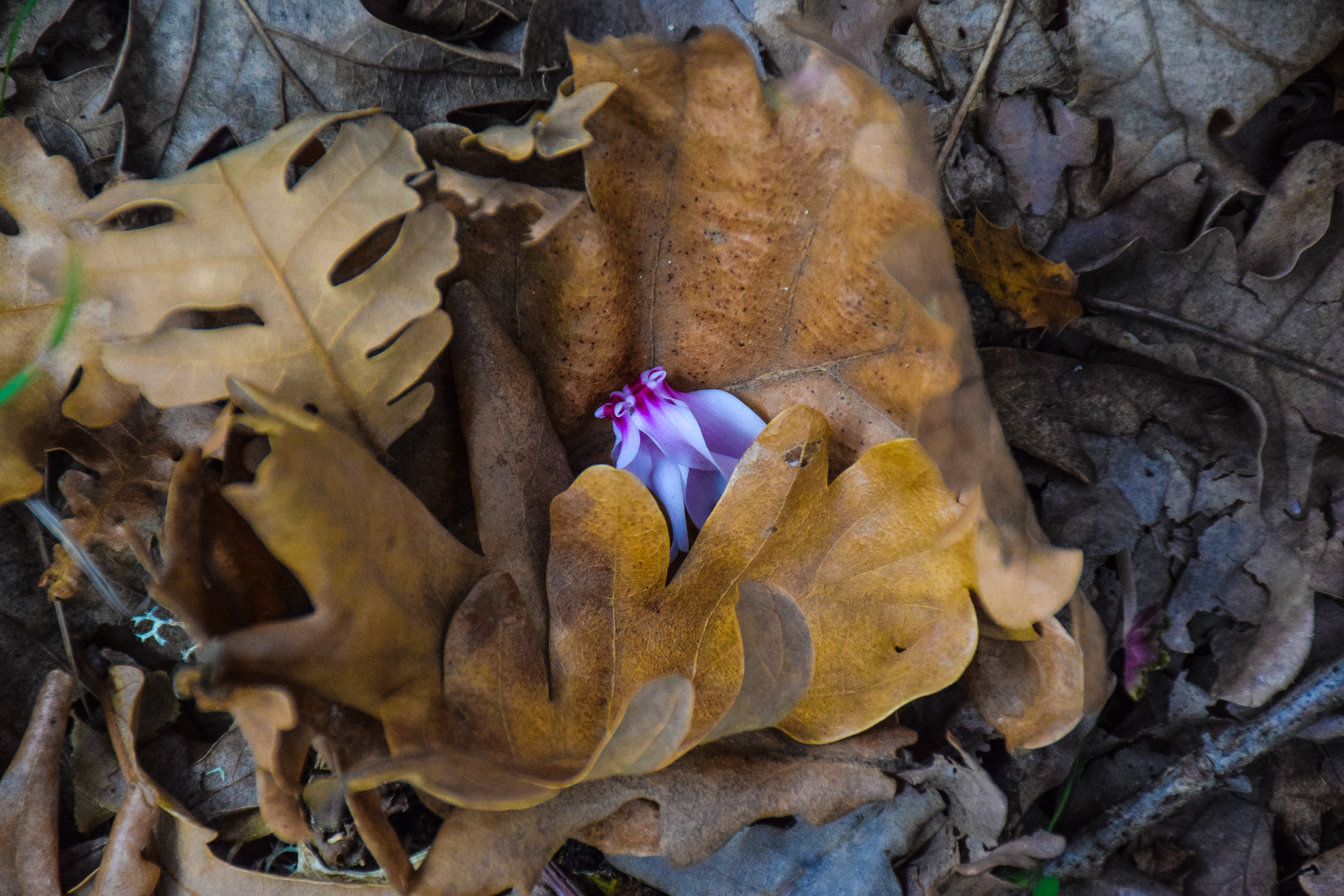 Greece, autumn, colors, leaves, flowers, cyclamen