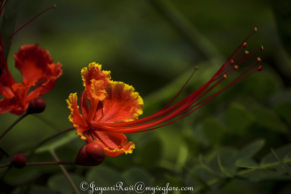 Gulmohar, Flowers,