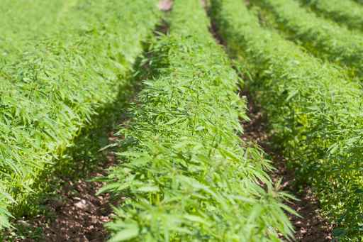 Field of hemp Cannabis Sativa_1556649119003