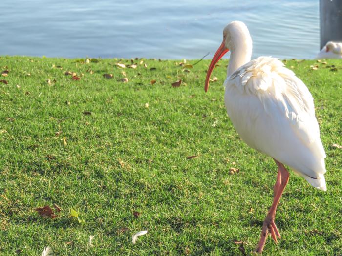 ibis, epcot food and wine festival, disney world, orlando, Florida