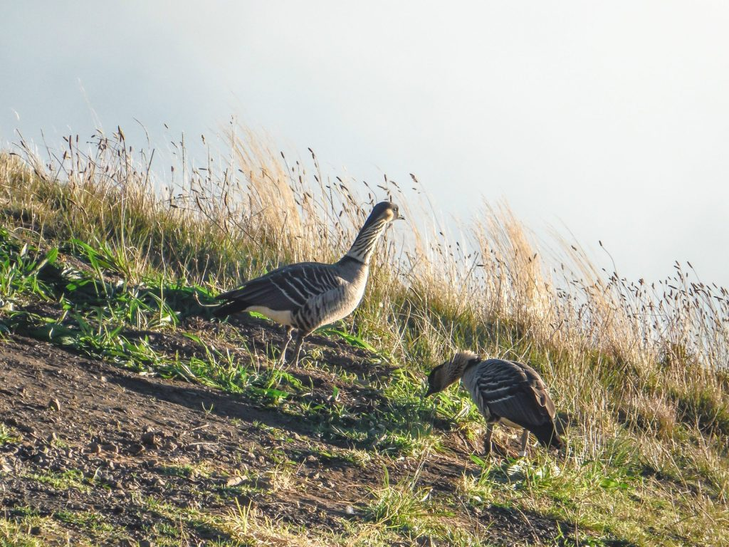 Haleakala National Park | Haleakala Crater | Maui, Hawaii | Sunrise experience and mountain biking | Nene state goose | Wildlife, lavender, eucalyptus, scenery | lunar landscape