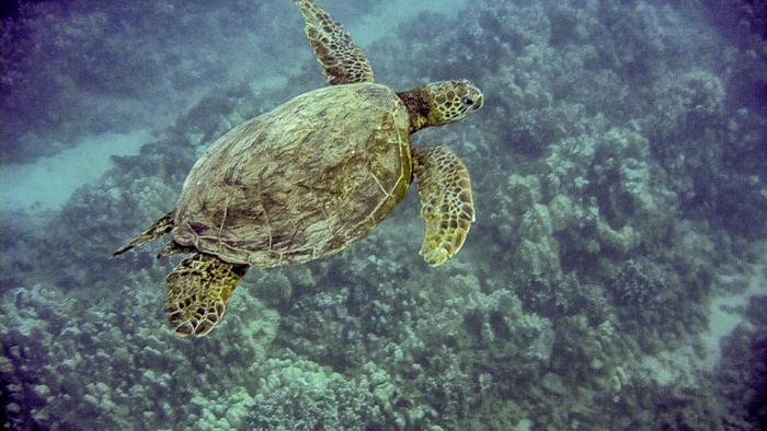 Do This, Not That // Snorkeling in Hawaii | Oahu, Maui | Hawaii Snorkeling tips | Pacific Ocean | Hawaii snorkeling dos and don'ts | Hawaii travel tips | Things to do in Hawaii | What to do in Oahu | Sea Turtles, dolphins, whales, fish