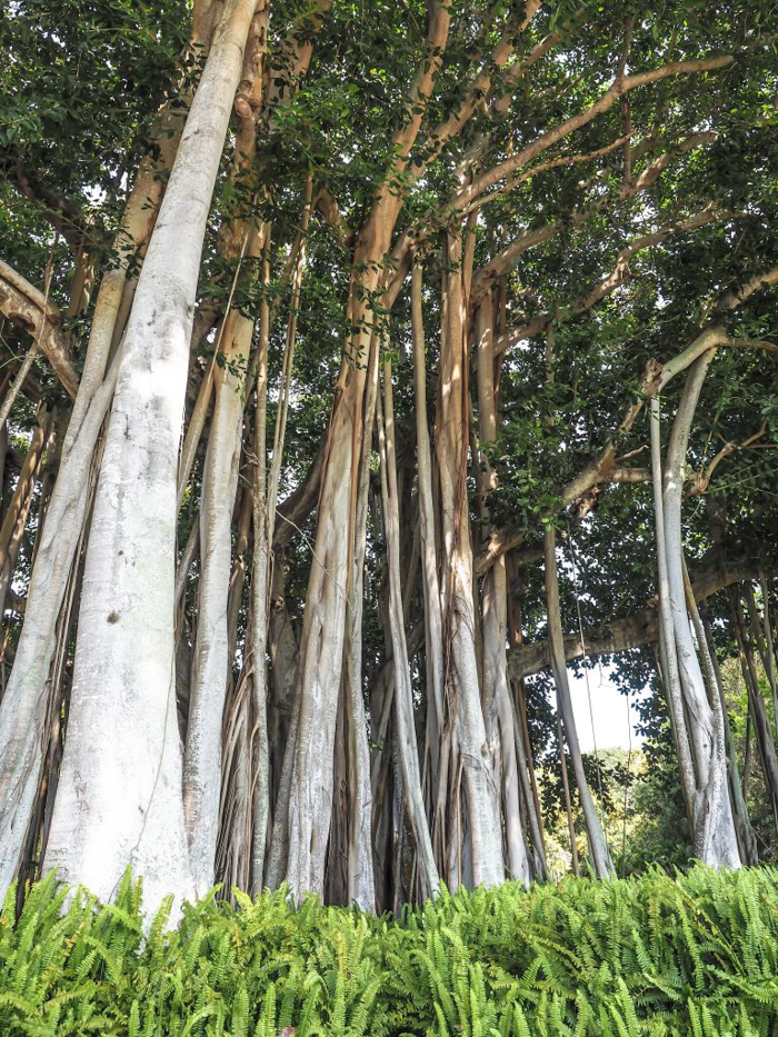 The Ringling // Getting My Italy Fix in Florida   Ringling   Ringling art museum and sculpture garden   Sarasota, Florida   The Ringling art museum   Banyan trees