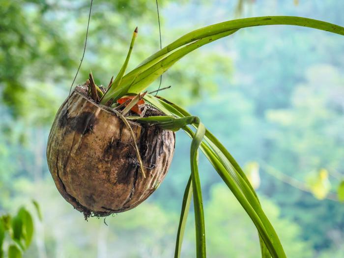 Black Rock Lodge   Belize   Coconut planter at Black Rock Lodge in San Ignacio, Belize
