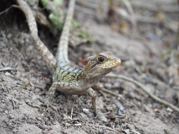 Black Rock Lodge | Belize | Lizard spotting at Black Rock Lodge in San Ignacio, Belize