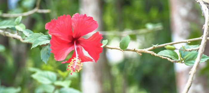 Black Rock Lodge | Jungle | red hibiscus flower at the black rock lodge in san ignacio | belize