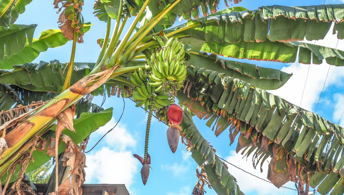 3 days in caye caulker, belize // banana tree