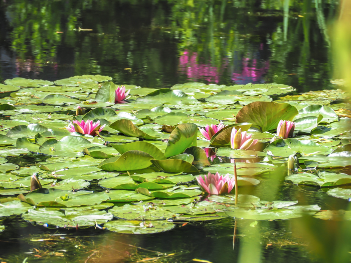 Day Trip to Givery from Paris, France | Show me the Monet! | Claude Monet, Waterlilies | Impressionist art | Day trips from Paris | What to do in Paris | Things to do in Paris | Where to go in France | Waterlily pond | Impressionism | pink lilies