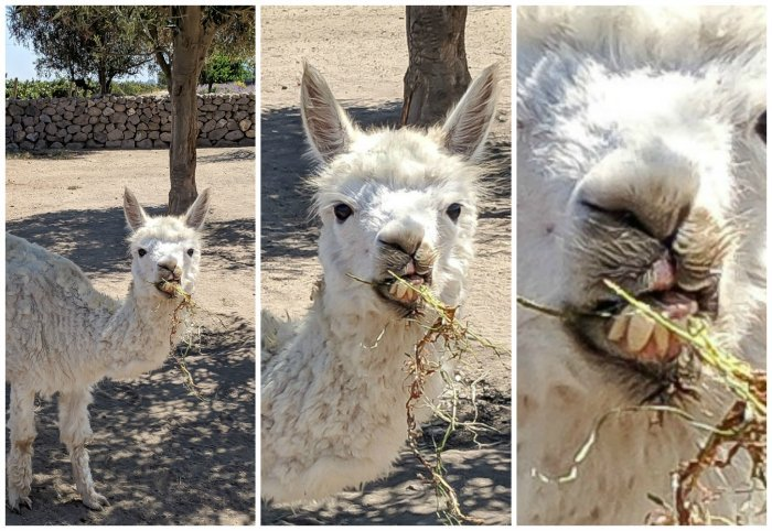Alpacas at Vina Emiliana winery | Wine Tasting in Chile: Casablanca vs. Maipo Valley | How to decide where to go wine tasting in Chile | Casablanca valley wineries | #chile #wine #winetasting #alpaca #teeth #casasdelbosque #casablanca