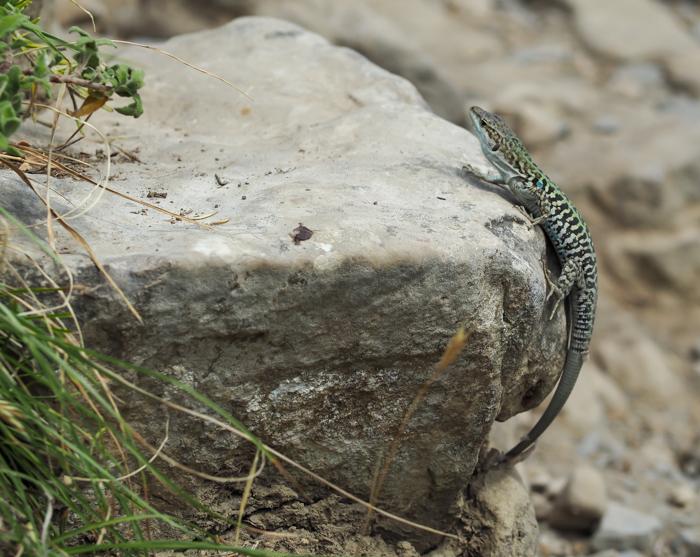 Lizard along the Amalfi Coast | Hiking the Path of the Gods from Sorrento, Italy on the Amalfi Coast | #pathofthegods #sorrento #amalficoast #hiking #italy