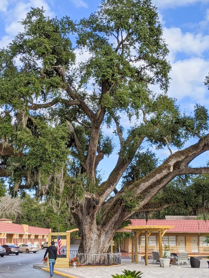 Old Senator live oak at Villa 1565 / 1 day in St. Augustine, Florida: A quick trip to America's oldest city / 24 hours in St. Augustine / day trip to St. Augustine from Jacksonville or day trip to St. Augustine from Orlando