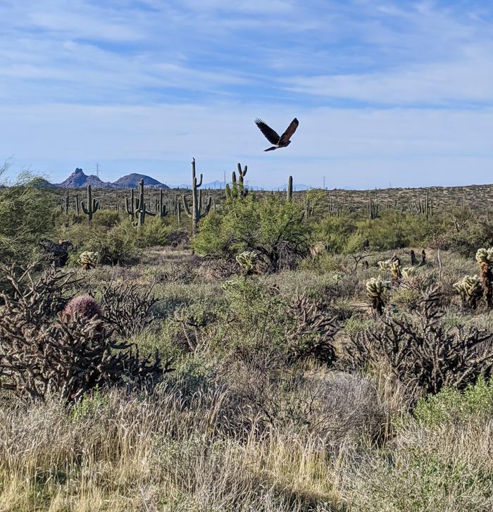 Hawk in the desert / Offseason Arizona: 8 Reasons to Visit Scottsdale in the Winter / Scottsdale, Arizona / #scottsdale #arizona #wintertravel