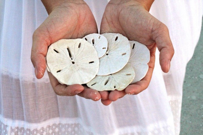 sand dollars in panama city beach florida
