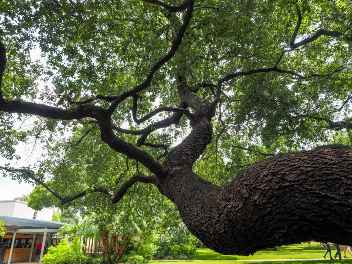 Old tree outside the historical sites in san antonio texas