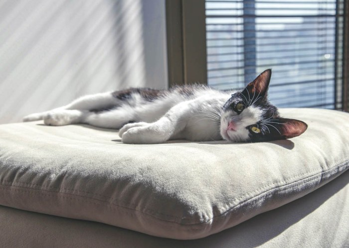 black and white cat laying on a beige pillow in the sun