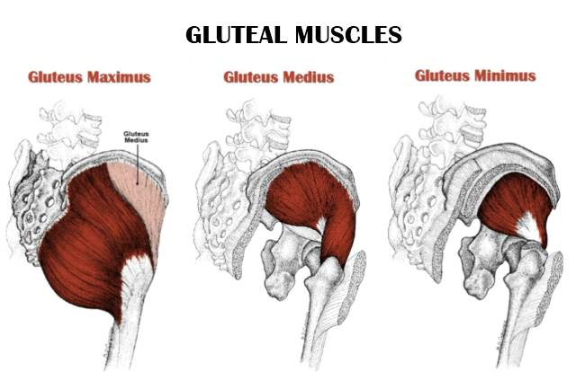 gluteal muscles anatomy
