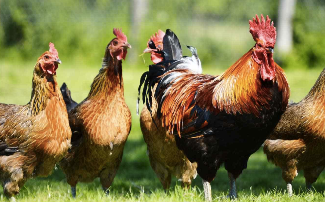 Poultry sheds will be built on green belt land at Borsdane Farm