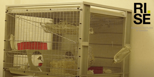 A highly enriched group housed rat cage.