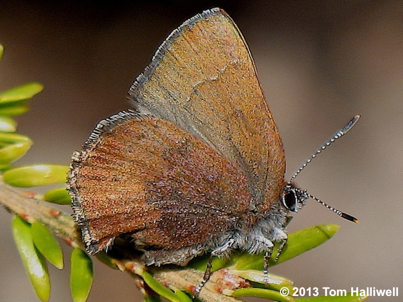 Hairstreaks