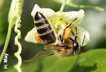 Honigbiene an Zaunrübe